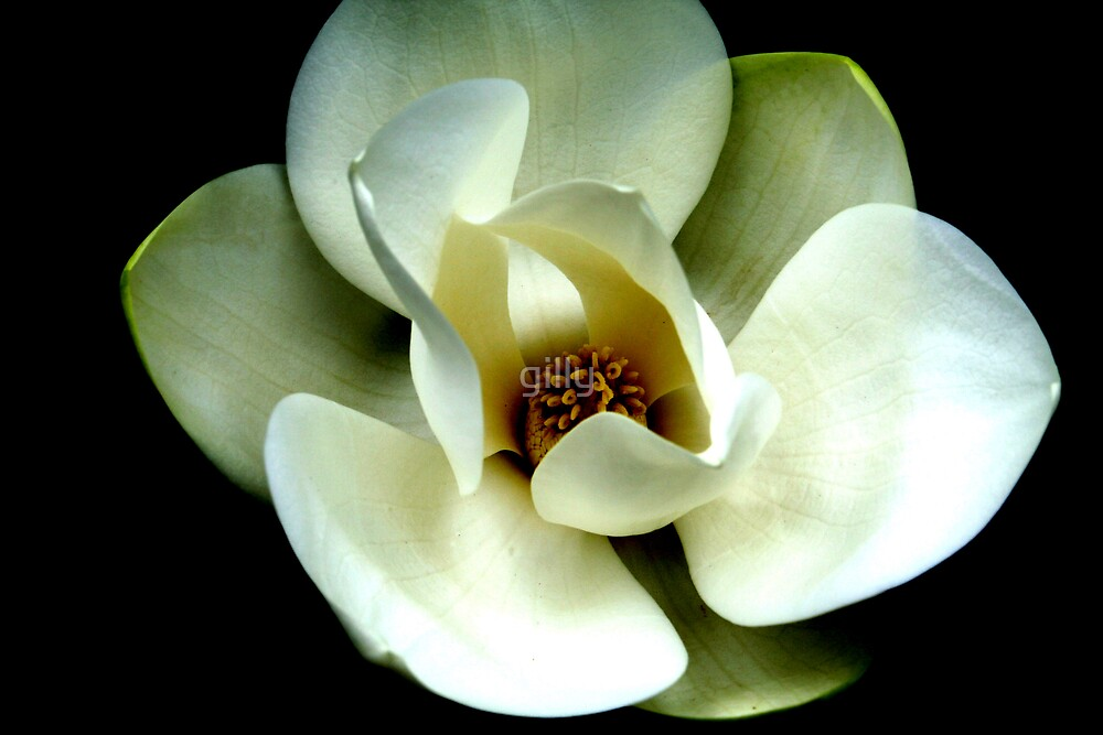 Magnolia by Gill Duncan
