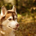 Husky 9 by Rebecca Cozart