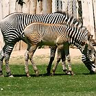 Two Zebras by RichImage