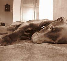 Brown Labrador by cedrikb