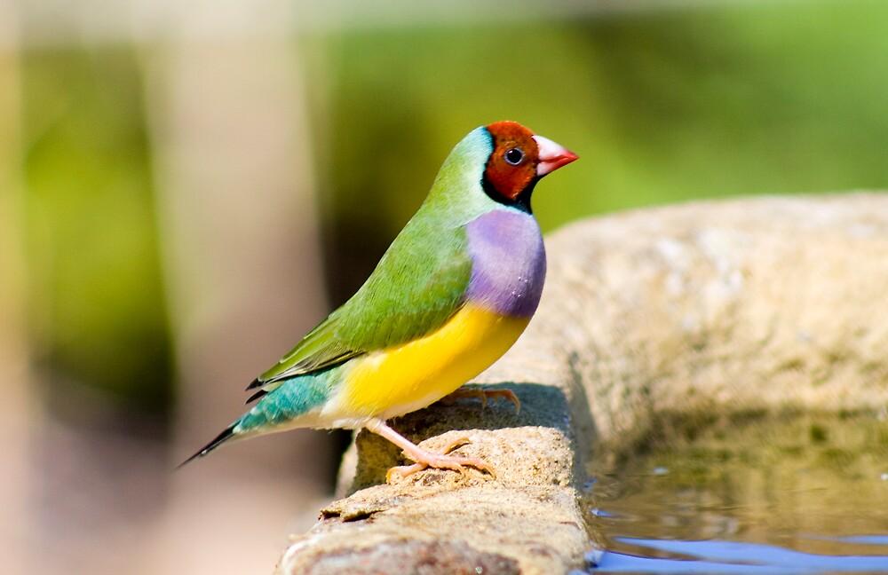 Rainbow Finch by Mark Baker