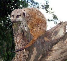 Meerkat On Lookout by Lynn