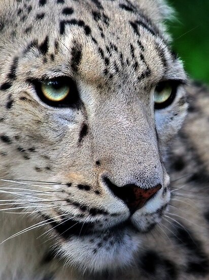 Snow Leopard by Natalie Manuel