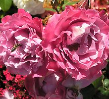 pink roses by Stacey Kellett