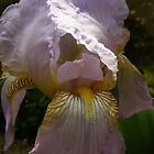 Sunlight touches Bearded Iris! 'Arilka' Mt. Pleasant. by Rita Blom