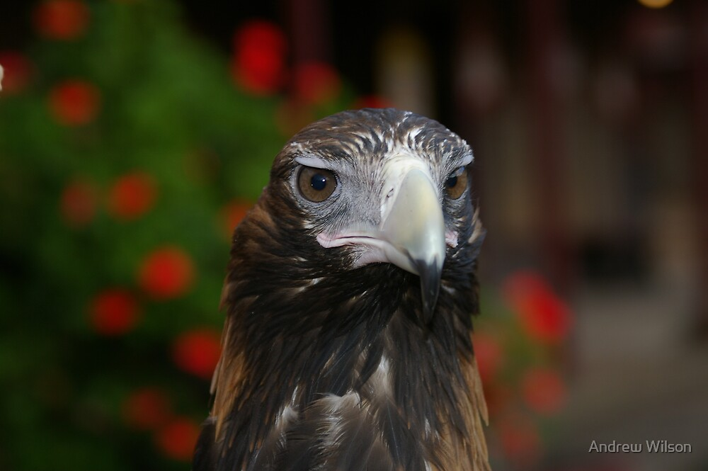 Eagle eye 2 by Andrew Wilson