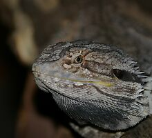 Bearded Dragon by Andrew Wilson