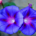 Good Morning Glories by Mary Kaderabek-Aleckson