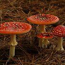 Red Fungi,Otway Ranges by Joe Mortelliti