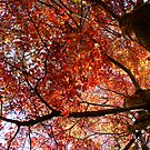 Autumn canopy by Robyn Lakeman