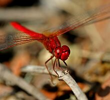 Red Dragonfly 11 by Mark Snelson