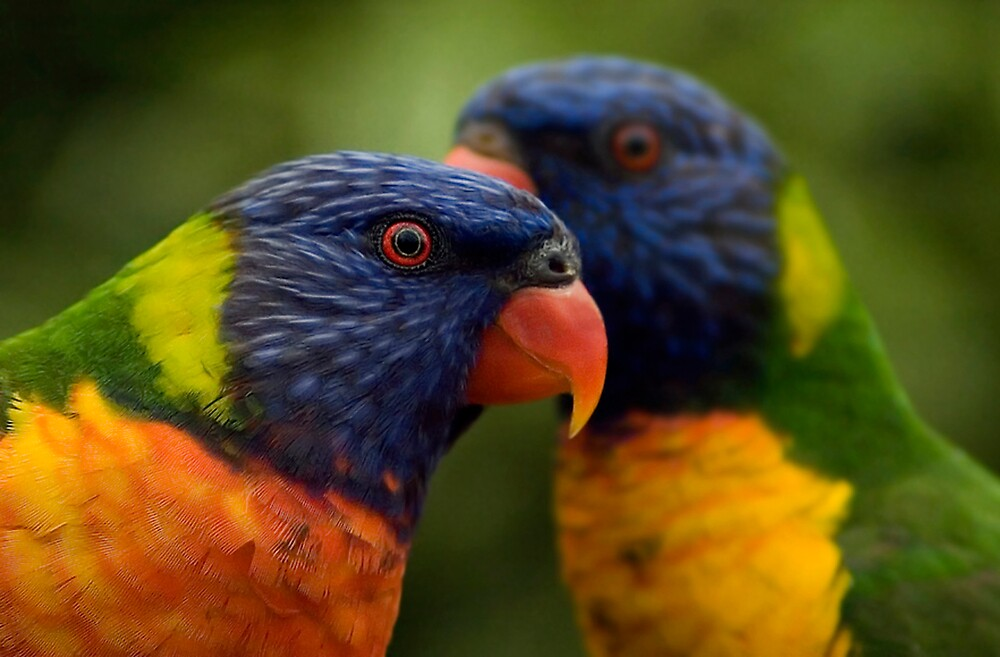 lorikeets by Katie101