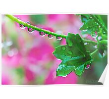 Pink Geranium Reflections After the Rain Poster