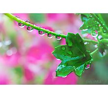 Pink Geranium Reflections After the Rain Photographic Print