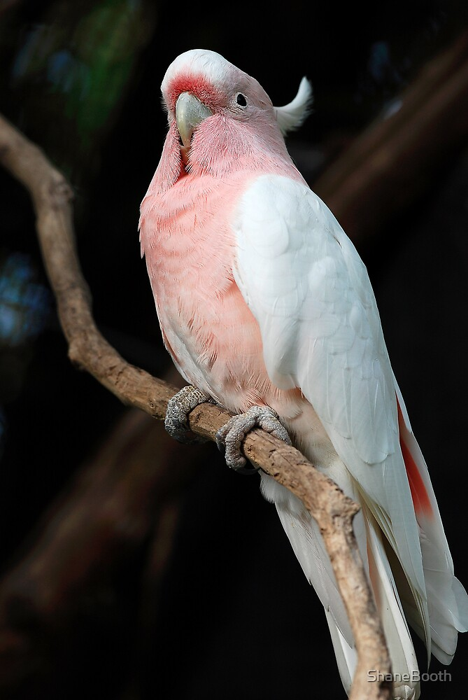 Major Mitchell's (Pink) Cockatoo by ShaneBooth