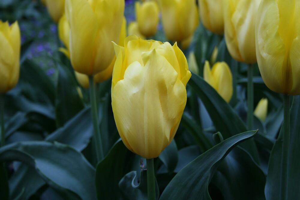Yellow Tulips by JennyDiane