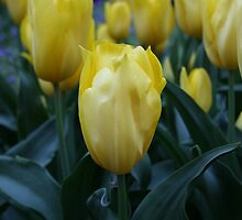 Yellow Tulips by JennyDiane