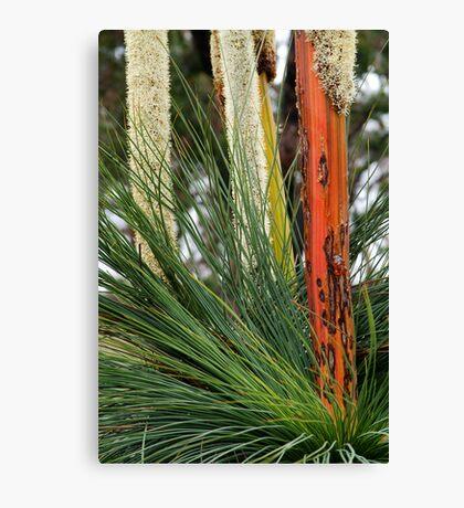 Grass Trees, Brisabane Ranges Canvas Print