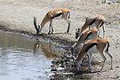 Thomson's Gazelles drinking, Serengeti, Tanzania.  by Carole-Anne