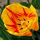 Yellow and Red Tulip by Kathleen Brant