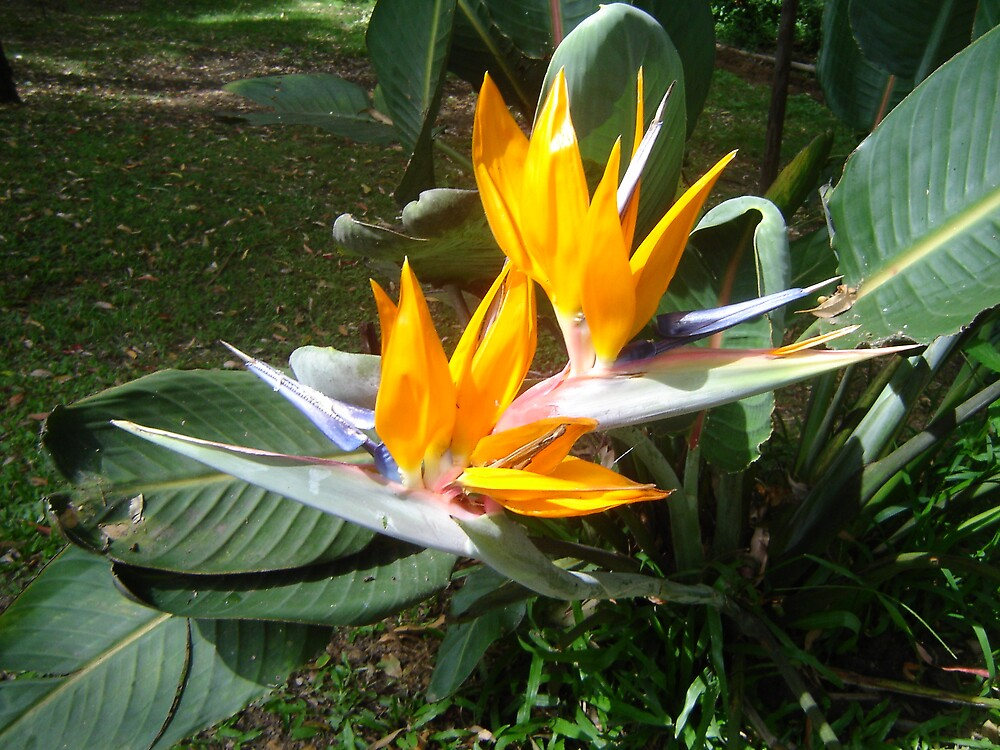 Bird of Paradise by Snowy