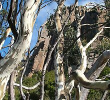 Eucalyptus on Mt Wellington by JennyDiane