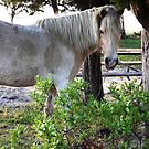 """White Wonder"" Wild Horse, Assateague Island by Sandy O'Toole"
