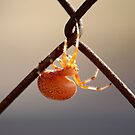 Orange Marbled Orb Weaver by elasita