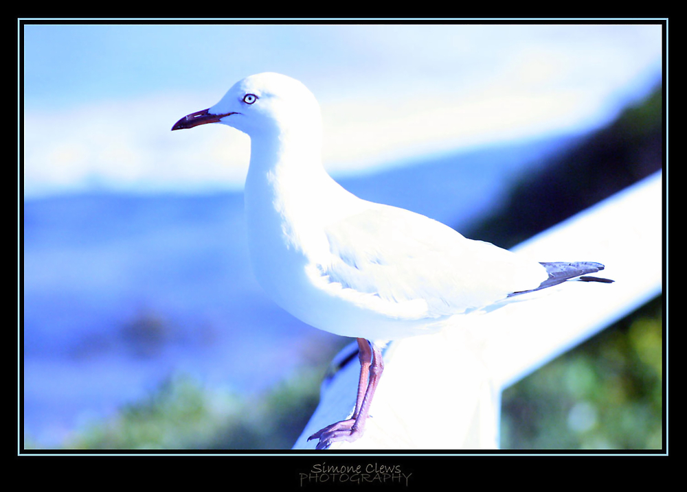 Seagull 2 by Simone C