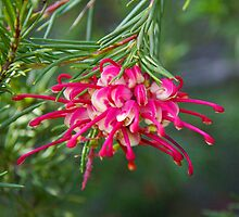 Pink Grevillea by Emma Newman