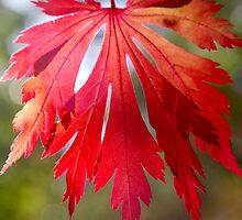 Crisp Red Autumn Leaf by Emma Newman