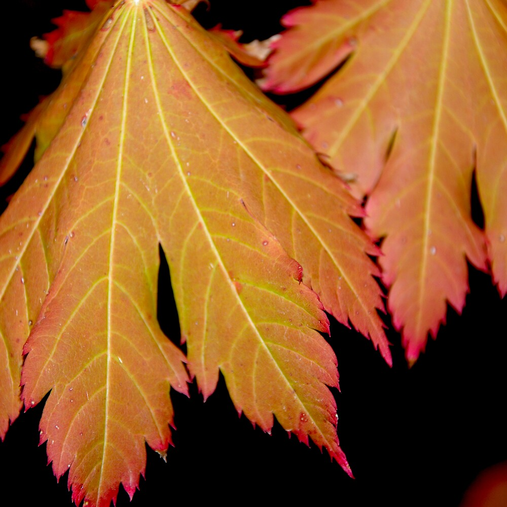 Bright Orange Autumn Leaves by Emma Newman