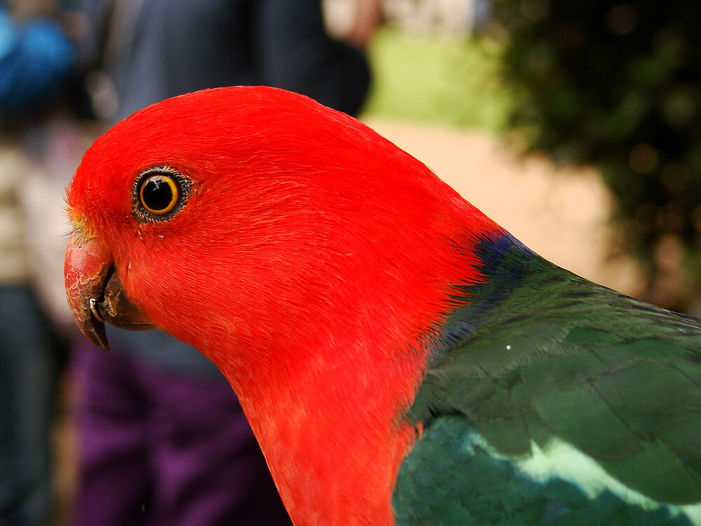 """Red"" king parrot  by diddle"