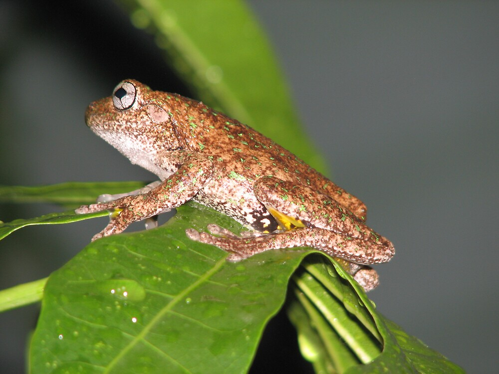 frog by melissa sipek