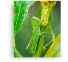 Baby Green Hopper Canvas Print