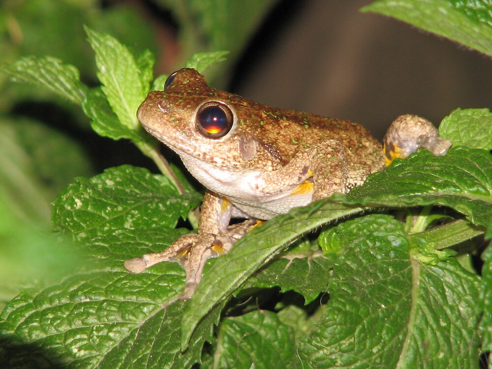mint frog by melissa sipek