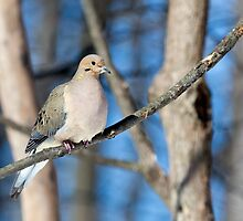 Mourning Dove in the Woods by Kenneth Keifer