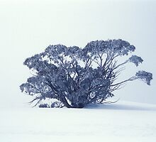 Snow Gum on White by John Barratt