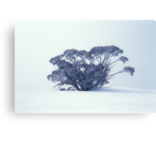 Snow Gum on White Canvas Print