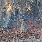 Young Prince, Sika Deer, Assateague Island by Sandy O'Toole