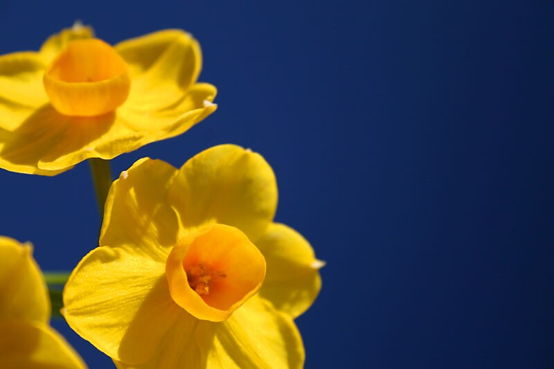 Daffy by reactphotography