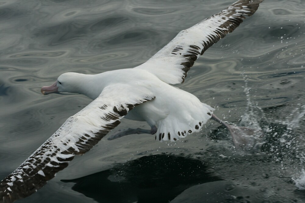 60 Year Old Albatross by amanwithapan