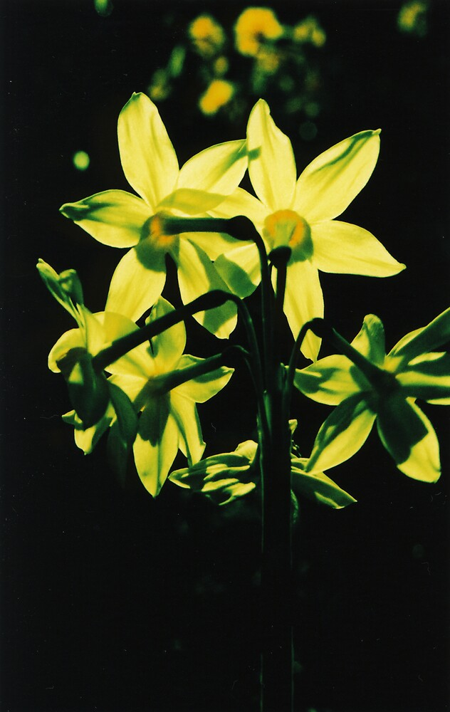 Jonquils1 by danno
