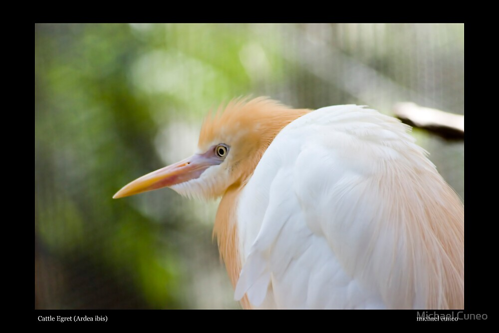 Cattle Egret by Michael Cuneo