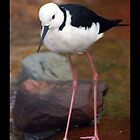 White Headed Stilt by Michael Cuneo