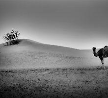 Desert Camel by Simon Mitrovich