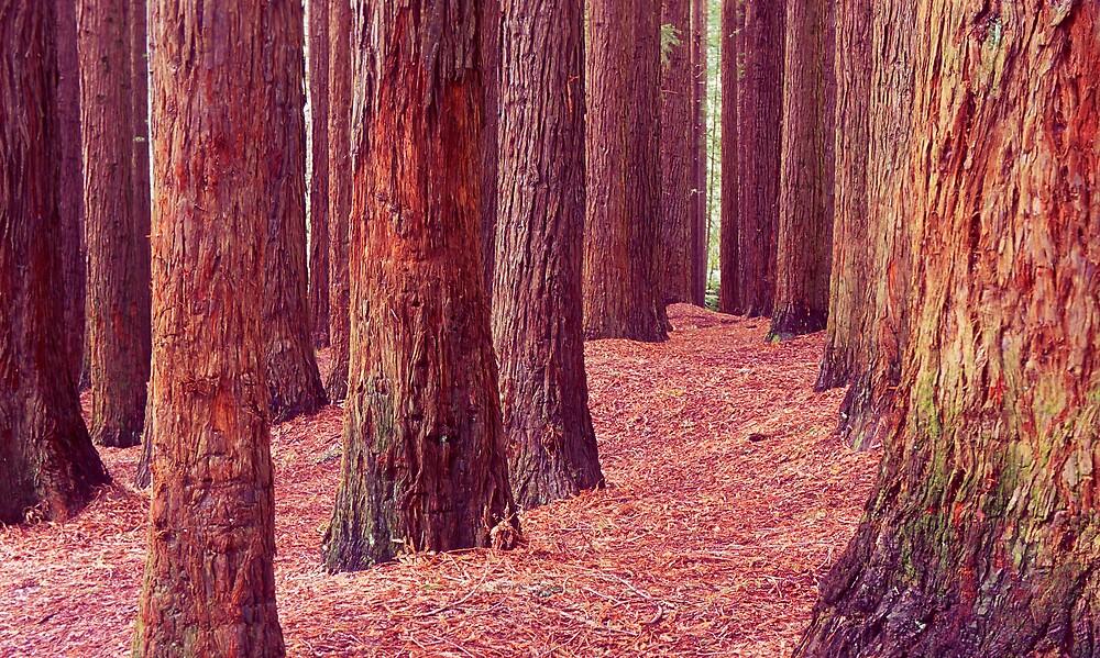 Californian Redwoods - Otway Ranges by John Barratt