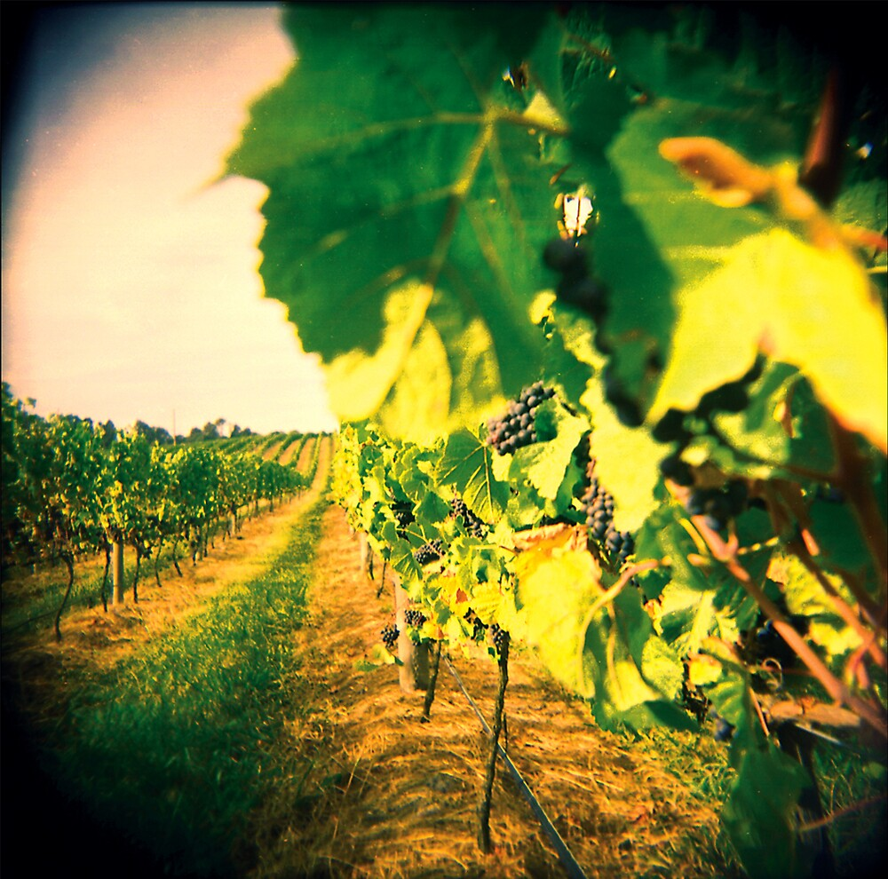 vineyard by trundles