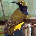 Sunbird (Male) by triciaoshea