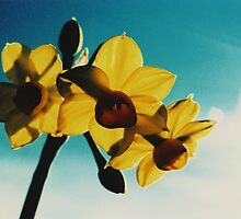 Jonquils4 by danno